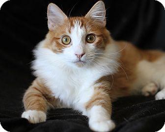 Domestic Mediumhair Kitten for adoption in Bellflower, California - Jake