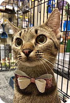 Domestic Shorthair Cat for adoption in Tega Cay, South Carolina - Gail
