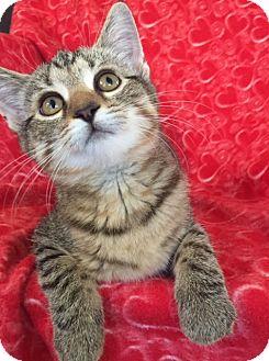 Domestic Shorthair Kitten for adoption in Bloomsburg, Pennsylvania - Morgan