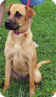 Shepherd (Unknown Type) Mix Puppy for adoption in Mt. Prospect, Illinois - Ginger