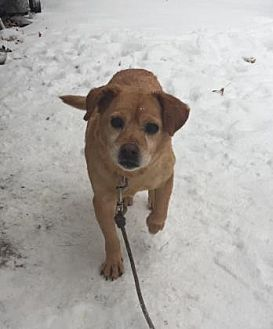 Beagle/Retriever (Unknown Type) Mix Dog for adoption in Ashtabula, Ohio - Angel