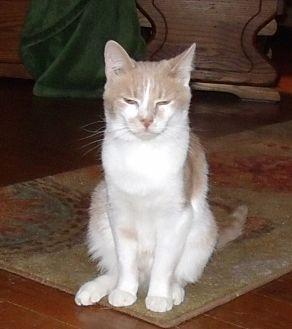Domestic Shorthair Kitten for adoption in Acme, Pennsylvania - CERARIO