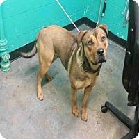 Adopt A Pet :: IVY - Louisville, KY