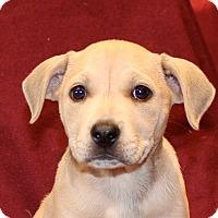 Adopt A Pet :: Bubble Gum - Los Angeles, CA