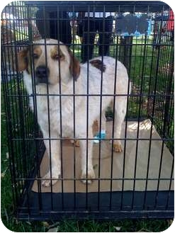 Australian Shepherd/Cattle Dog Mix Dog for adoption in Fowler, California - Felix