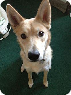 Shepherd (Unknown Type)/Labrador Retriever Mix Dog for adoption in Lebanon, Maine - Harley