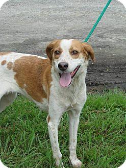 Treeing Walker Coonhound Dog for adoption in Kinston, North Carolina - Kennedy