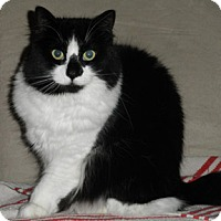 Domestic Longhair Cat for adoption in Verdun, Quebec - Rosa