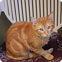 Domestic Shorthair Cat for adoption in Pottsville, Pennsylvania - Bavis