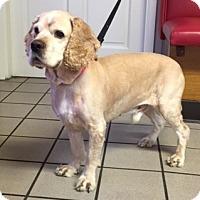 Adopt A Pet :: Chaucer - Los Angeles, CA