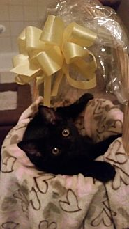Domestic Shorthair Cat for adoption in Chino, California - Melanie