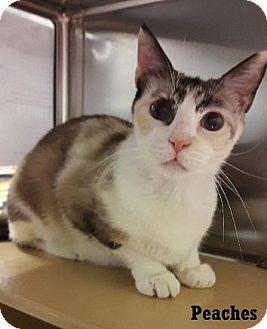 Siamese Cat for adoption in Fullerton, California - Peaches