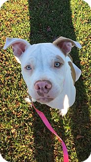 Pit Bull Terrier Mix Dog for adoption in Warrenville, Illinois - Lucille
