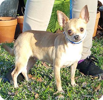 Chihuahua/Pug Mix Dog for adoption in Houston, Texas - CARMELA