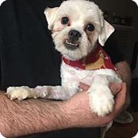 Adopt A Pet :: Loki - Troy, MI