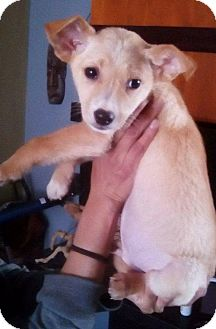 Labrador Retriever/Jack Russell Terrier Mix Puppy for adoption in Dana Point, California - Charlie