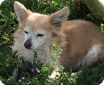 Pomeranian Dog for adoption in Apple Valley, California - Stevie Wonder- good therapy/lap dog- in a foster