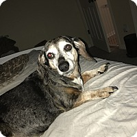Dachshund/Beagle Mix Dog for adoption in Palm Coast, Florida - Maggie