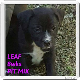 Pit Bull Terrier Mix Puppy for adoption in New York, New York - LEAF