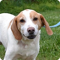 Treeing Walker Coonhound/Pointer Mix Dog for adoption in Mineral, Virginia - Andy Dandy, D6