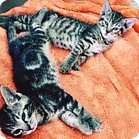 Adopt A Pet :: Lily and Cody, Cuddle Buddy Babies - Brooklyn, NY