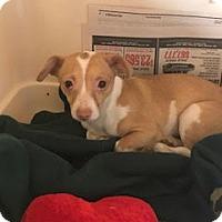 Adopt A Pet :: Chiquita - Beverly Hills, CA