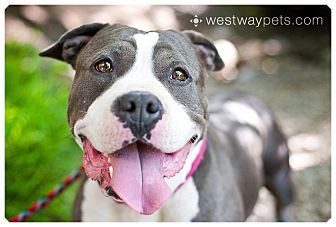 American Staffordshire Terrier/Pit Bull Terrier Mix Dog for adoption in San Diego, California - Marshmallow