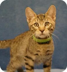 Domestic Shorthair Cat for adoption in Sacramento, California - Patty