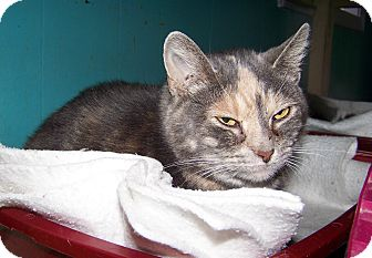 Domestic Shorthair Cat for adoption in Dover, Ohio - Leah