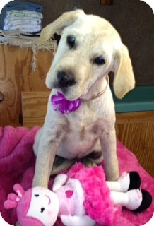 Spaniel (Unknown Type)/Labrador Retriever Mix Puppy for adoption in Salem, New Hampshire - Molly-Urgent