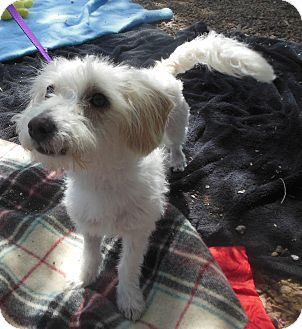 Terrier (Unknown Type, Small) Mix Dog for adoption in Phoenix, Arizona - Benny