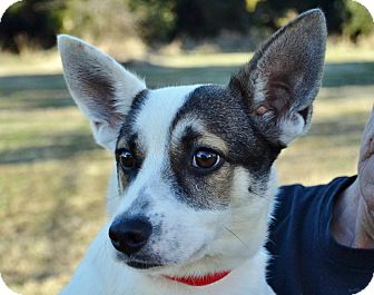 Rat Terrier/Terrier (Unknown Type, Medium) Mix Dog for adoption in Searcy, Arkansas - Buddy