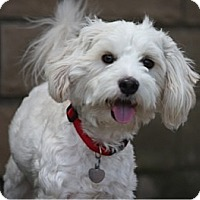 Adopt A Pet :: CLYDE - Mission Viejo, CA