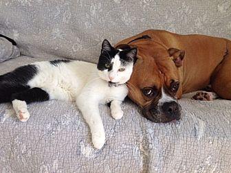 Domestic Shorthair Cat for adoption in Bryn Mawr, Pennsylvania - SOFIA/ loves dogs