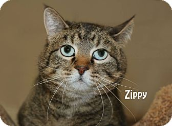 Domestic Shorthair Cat for adoption in Idaho Falls, Idaho - Zippy