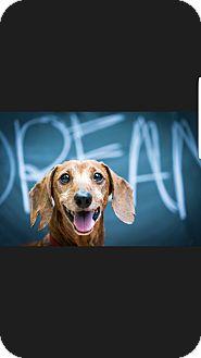 Dachshund Dog for adoption in Decatur, Georgia - Citizen Kane