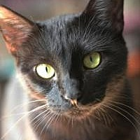 Domestic Shorthair Cat for adoption in Yukon, Oklahoma - Sue