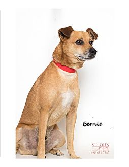 Rat Terrier/Dachshund Mix Dog for adoption in Laplace, Louisiana - Bernie- Already Neutered