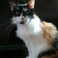 Calico Cat for adoption in Barrington, New Jersey - Ellie