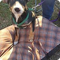 Adopt A Pet :: Marvel - Huntsville, TN