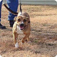 Pit Bull Terrier/Labrador Retriever Mix Dog for adoption in Larned, Kansas - Zola