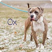 American Bulldog/Mastiff Mix Dog for adoption in Kendallville, Indiana - Ox