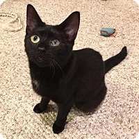 Domestic Shorthair Cat for adoption in Cheltenham, Pennsylvania - Belle