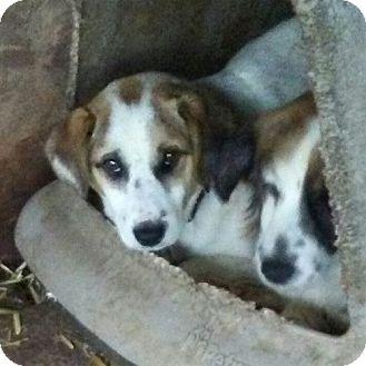 Sheltie, Shetland Sheepdog/Terrier (Unknown Type, Medium) Mix Dog for adoption in Minneapolis, Minnesota - Sly