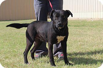 Labrador Retriever/Mixed Breed (Medium) Mix Dog for adoption in Middlebury, Connecticut - Sage