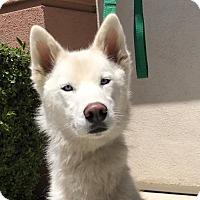 Adopt A Pet :: Brooke - Campbell, CA