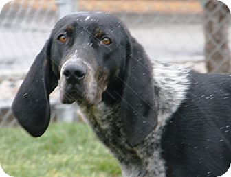 Bluetick Coonhound Mix Dog for adoption in Meridian, Idaho - Mary