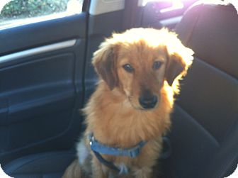 Golden Retriever Mix Dog for adoption in El Cajon, California - RUSTY, watch my video!