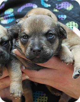 German Shepherd Dog Mix Puppy for adoption in Seneca, South Carolina - Caroline