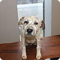 Adopt A Pet :: Dexter - Pflugerville, TX